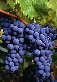 Wereld wijnproefdoos Cabernet Sauvignon