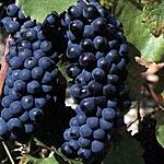 Wereld wijnproefdoos Syrah (Shiraz)